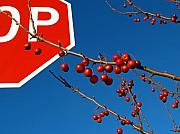 Disobedient Photo Posters - Rebellious Ornamental Crabapples in Autumn Poster by Anna Lisa Yoder