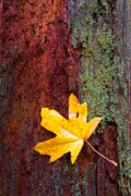 Autumn Leaf Photo Metal Prints - Reclamation Metal Print by Mike  Dawson