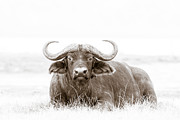 African Wild Life Posters - Reclining Buffalo With Oxpecker Poster by Mike Gaudaur