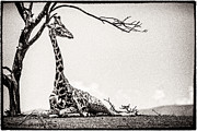 High And Low Framed Prints - Reclining Giraffe Sepia Framed Print by Mike Gaudaur