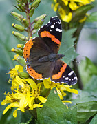 Barbara Smith Metal Prints - Red Admiral Metal Print by Barbara Smith