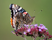 Karen Adams - Red Admiral Butterfly on...