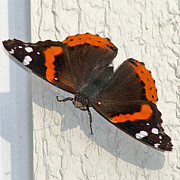 Karen Adams - Red Admiral Butterfly...