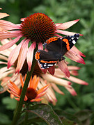 Healing Posters Photos - Red Admiral on Coneflower by Gill Billington