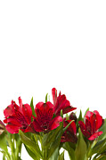 Crimson Lilies Prints - Red Alstroemeria Print by Anne Gilbert