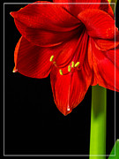 Boarder Prints - Red Amaryllis Flower Print by Edward Fielding