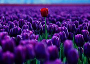 Tulip Town Posters - Red Amidst Purple Poster by Benjamin Yeager
