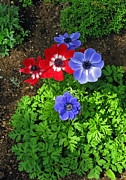 Red And Blue Anemones Print by Ausra Paulauskaite