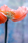 Macro Flower Photography Prints - Red and Blue Print by Kristin Kreet