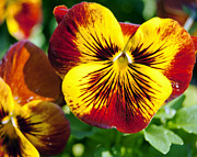 Golds Prints - Red and Gold Pansies Print by Leslie Cruz