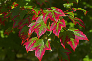 Red And Green Photo Posters - Red and Green Leaves Poster by Sharon  Talson