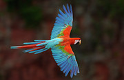Gliding Prints - Red And Green Macaw Flying Print by Pete Oxford