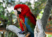 Lydia Holly - Red and Green Macaw