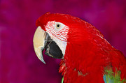 Red And Green Photo Framed Prints - Red and Green Macaw Framed Print by Tony Beck