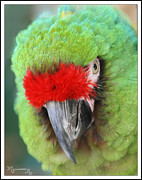 Mariarosa Rockefeller - Red and Green Parrot