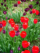 Colorful Posters - Red and Purple Tulips Poster by Aimee L Maher