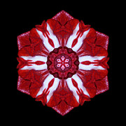 Red And White Amaryllis Iv Flower Mandala Print by David J Bookbinder