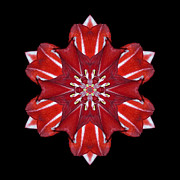 Red And White Amaryllis Vii Flower Mandala Print by David J Bookbinder