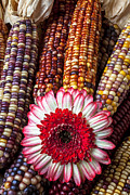 Floral Photos - Red and white mum with Indian corn by Garry Gay