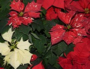 Struckle Framed Prints - Red And White Poinsettia Framed Print by Kathleen Struckle