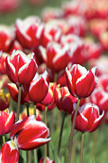 JPLDesigns - Red and White Tulips...