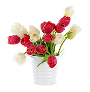 Stems Posters - Red and white tulips Poster by Elena Elisseeva