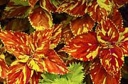 David Lunde - Red and Yellow Coleus