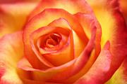HJBH Photography - Red and yellow colored rose