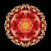 David J Bookbinder - Red and Yellow Dahlia...