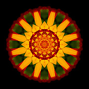 David J Bookbinder - Red and Yellow Marigold...