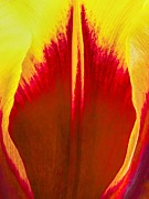Jan Hagan - Red and Yellow tulip...