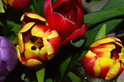 Bryan Wenham-Baker - Red and Yellow Tulips