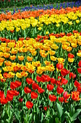 Red And Yellow Tulips Print by Gynt