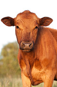 Western Western Art Prints - Red Angus Cow Print by Cindy Singleton