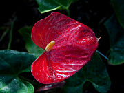 Greg Thiemeyer - Red Anthurium