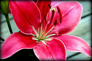 Asiatic Lilly Prints - Red Asiatic Lilly Print by Kathy  White