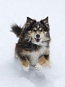 Australian Shepherd Posters - Red Aussie Runs in the Snow Poster by Carol Walker