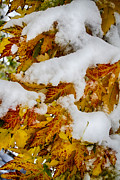 James BO  Insogna - Red Autumn Maple Leaves With Fresh Fallen Snow