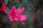 Rderder Photos - Red Azalea by Roy Erickson