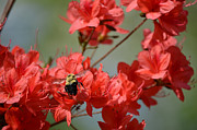 Paul Mashburn Art - Red Azalea With Bumblebee by Paul Mashburn
