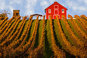 Vineyard Landscape Framed Prints - Red Barn In Autumn Vineyards Framed Print by Garry Gay