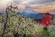 Sunday Drive Photos - Red Barn in Hood River Pear Orchard by David Gn