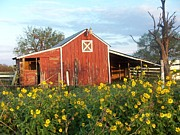 Flowers Sunflowers Barn Prints - Red Barn With Wild Sunflowers Print by Susan Williams Phillips