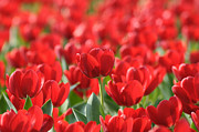 Online Flower Shop Posters - Red Beautiful Tulips Poster by Boon Mee