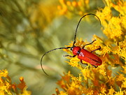 Red Beetle Print by Marty Fancy