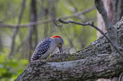 Gary Hall - Red-bellied Woodpecker 2