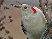 Amy Maloney - Red Bellied Woodpecker