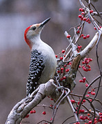 Bittersweet Posters - Red Bellied Woodpecker Poster by Charlene Palmer