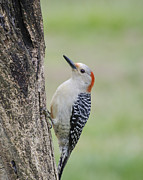 Backyards Posters - Red Bellied Woodpecker Poster by Heather Applegate