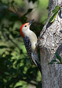 Kathy Baccari - Red Bellied Woodpecker